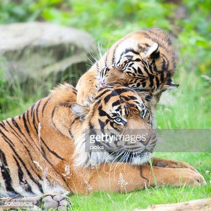 Dois Tigres em conjunto, afago e jogar : Foto de stock