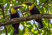 Keel-billed amusing toucans spotted somewhere in Central America