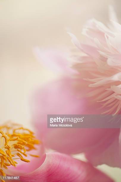Two Touching Pink Peony Flowers Close-up