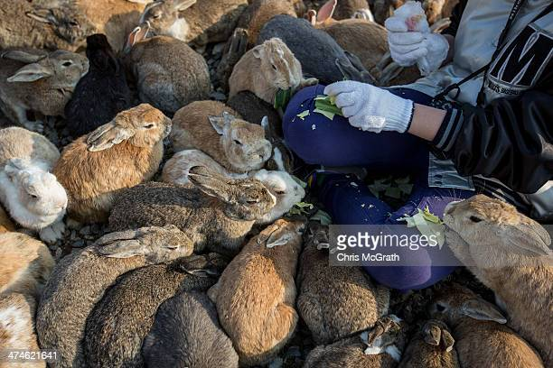 Two tourist feeds hundreds of rabbits at Okunoshima Island on February 24 2014 in Takehara Japan Okunoshima is a small island located in the Inland...