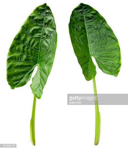 Two tropical green leaves isolated on white with clipping path