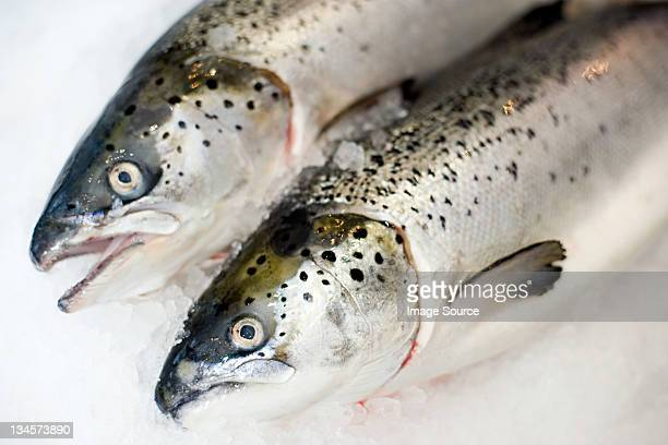 Two trout side by side on ice