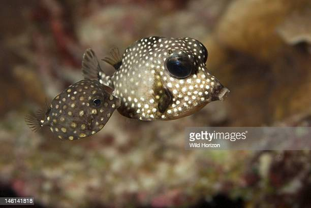 Two trunkfish one juvenile and one young adult Lactophrys triqueter Curacao Netherlands Antilles