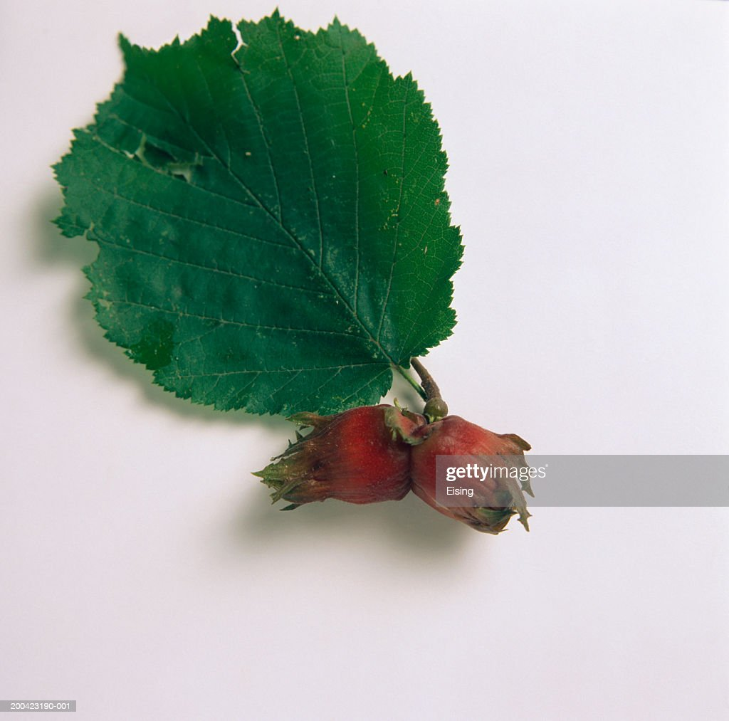 Two unshelled hazelnuts with leaf : Stock Photo