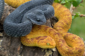 Two Venomous Bush Viper Snakes (Atheris squamigera) in Tree
