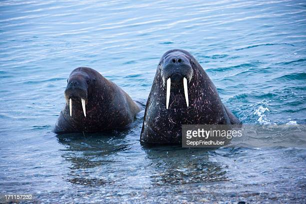 Two Walrusses close up in Spitzbergen