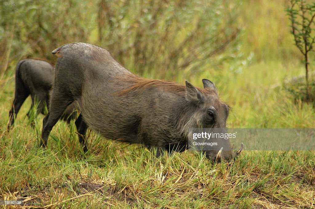 Two Warthogs (Phacochoerus aethiopicus) looking for meal in a forest, Okavango Delta, Botswana : Foto de stock