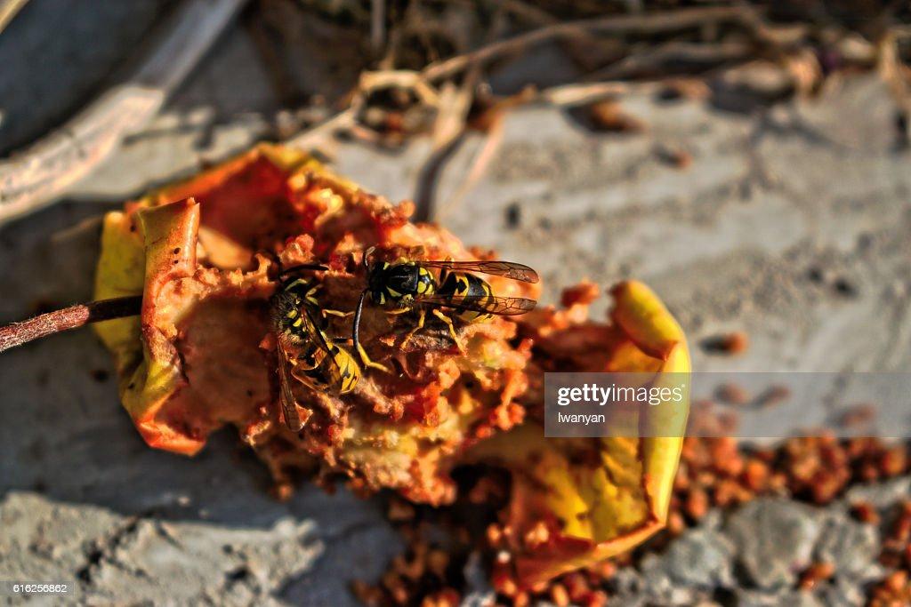 Two Wasps Eating an Apple Core : Foto de stock