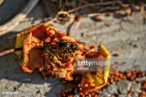 Two Wasps Eating an Apple Core : Foto de stock