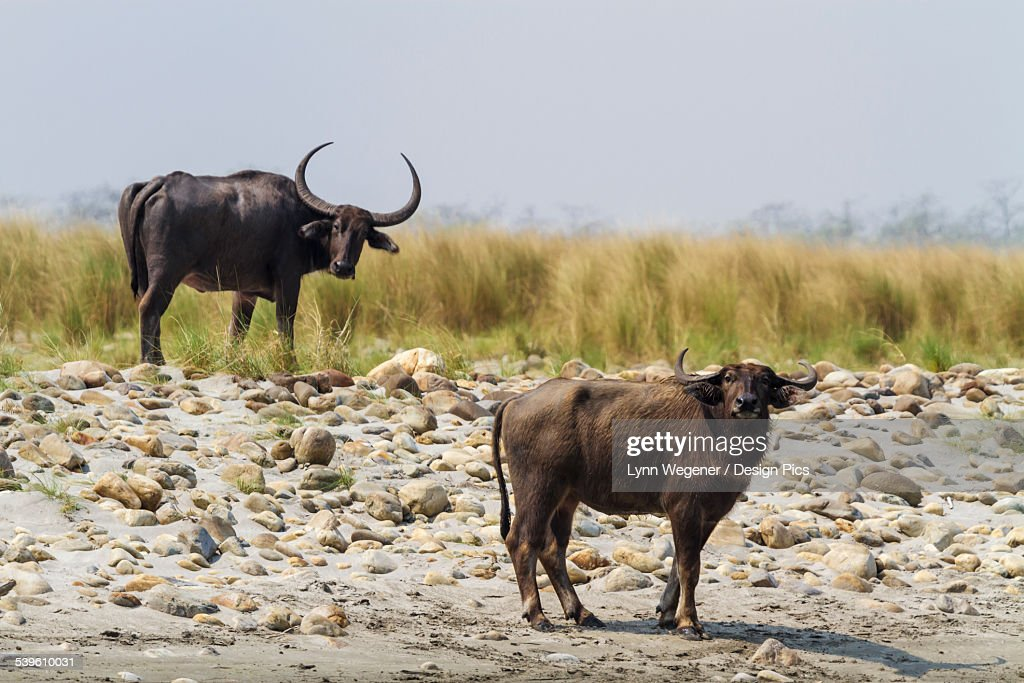 Two Water Buffalo (Bubalus Bubalis) Stand By The Manas River In The Manas National Park