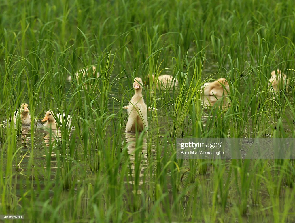 Two week old ducks swim in the newly planted rice field to eat insects and weeds at Ushio rice field on July 8, 2014 in Ichikawa, Japan. Rice farming using ducks to eliminate weeds and insects called 'Aigamo Method' is an eco-friendly alternative to chemical farming developed by Japanese farmer Takao Furuno in 1989.