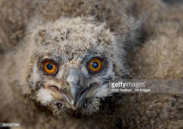A two week old owlet born at the Raptor Foundation Woodhurst Cambridgeshire