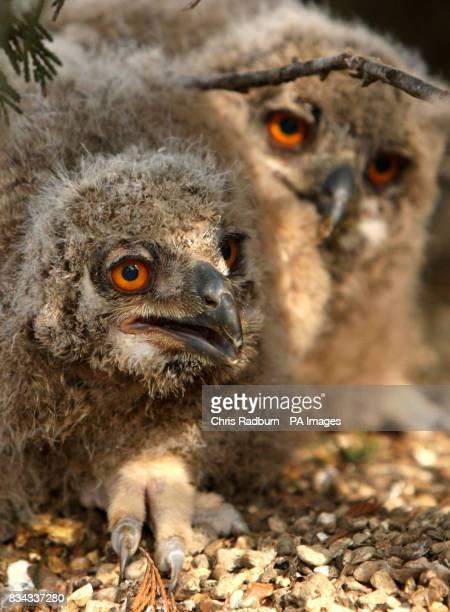Two week old owlets born at the Raptor Foundation Woodhurst Cambridgeshire