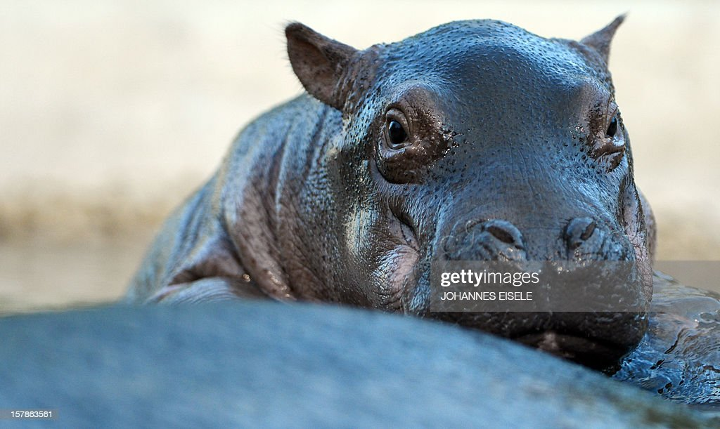 A two weeks old baby hippopotamus is pictured at the outdoor enclosure at the zoo in Berlin on December 7, 2012 in Berlin.