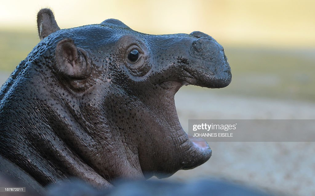 A two weeks old baby hippopotamus is pictured in its outdoor enclosure at the zoo in Berlin on December 7, 2012 .AFP PHOTO / JOHANNES EISELE