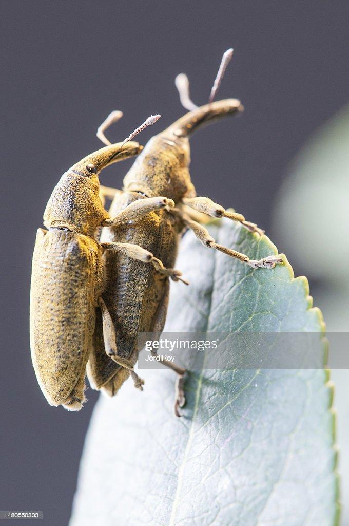 Two weevils (Lixus angustatus) mating : Stock Photo