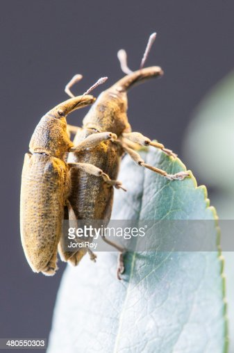 Two weevils (Lixus angustatus) mating : Stock Photo