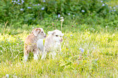 Two white and cream new baby kid goats in grassy meadow