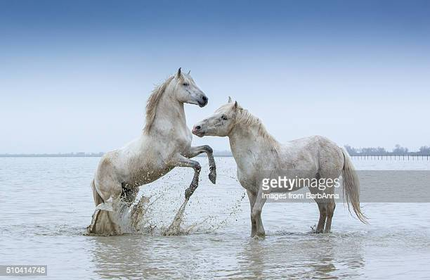 Two white Camargue Stallions play flighting in water, Camargue region, France