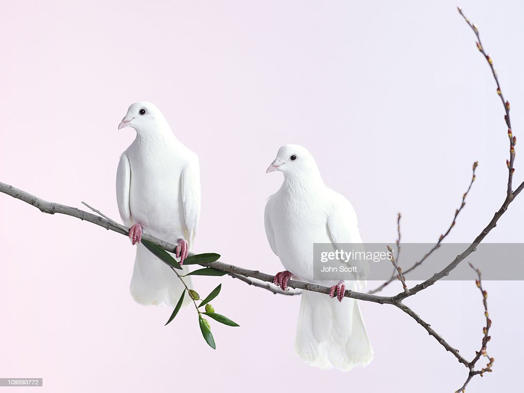 Two white doves with olive branch