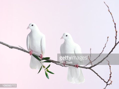 Two white doves with olive branch : Foto de stock