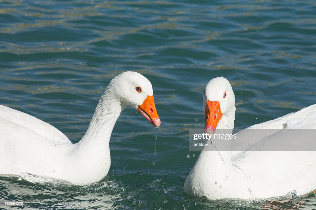 two white geese on the lake : Stock Photo