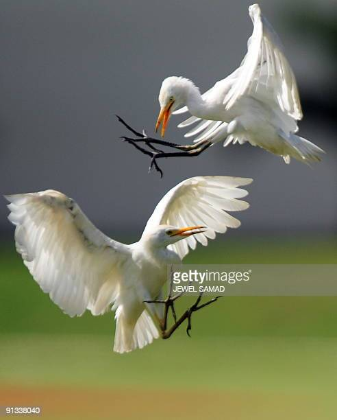 Two white herons fight during the third day of the first Test match between West Indies and Bangladesh at the Arnos Vale Ground in Kingstown on July...