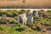 Two young horses of Camargue graze freely
