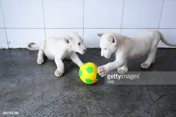 Two white lion cubs play football at Hangzhou Safari Park on June 17 2014 in Hangzhou province of China