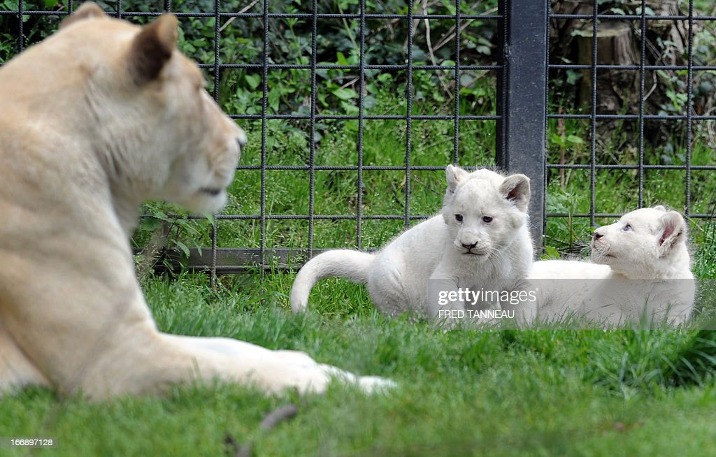 Two white lion cubs play in their pen next to their mother Sweleka (L) at the Pont-Scroff's zoo in Pont-Scorff, western France, on April 18, 2013. Three lion cubs, two males and a female, were born on February 23 and were shown for the first time to the public on April 17.