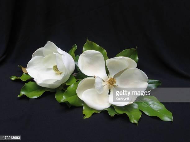 Zwei weiße Magnolias