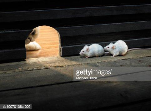Two white Mouse hiding inside hole, cat peeking