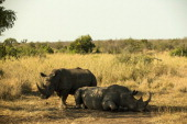 Two White Rhinoceros lay in the shade in Krugar National Park on July 8 2013 in Lower Sabie South Africa The Kruger National Park was established in...