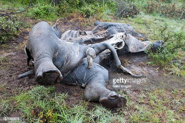 Two white rhinos lie dead having been killed three days earlier by poachers at Amakhala Game Reserve and photographed on November 22 20i0 in the...