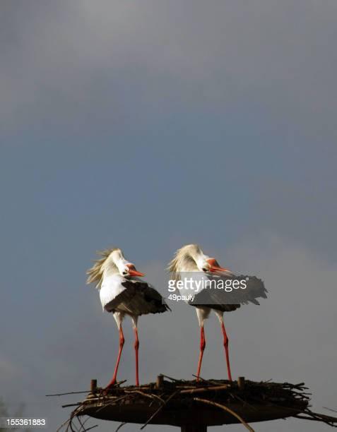 Two white stork on a bird`s nest.