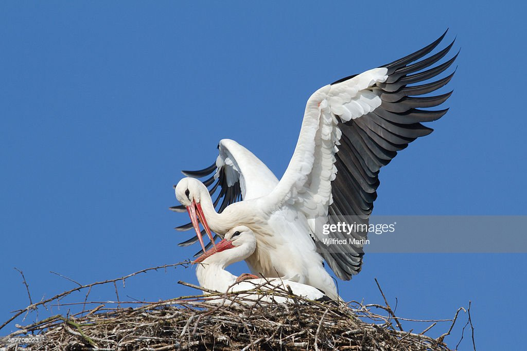 Two white storks -Ciconia ciconia-, mating in the nest, Hesse, Germany : Stock Photo