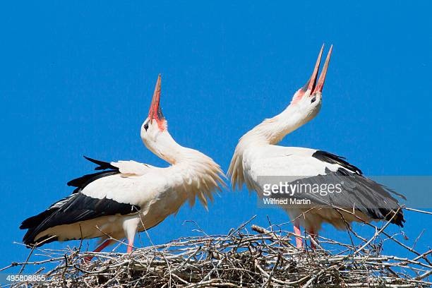 Two White Storks -Ciconia ciconia- welcoming each other to the nest, North Hesse, Hesse, Germany