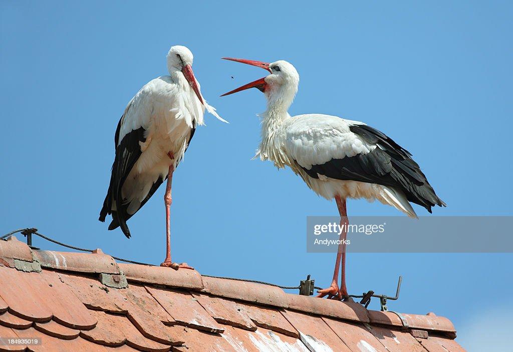 Two White Storks (Ciconia cicon.) : Stock Photo