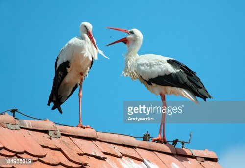 Two White Storks (Ciconia cicon.)