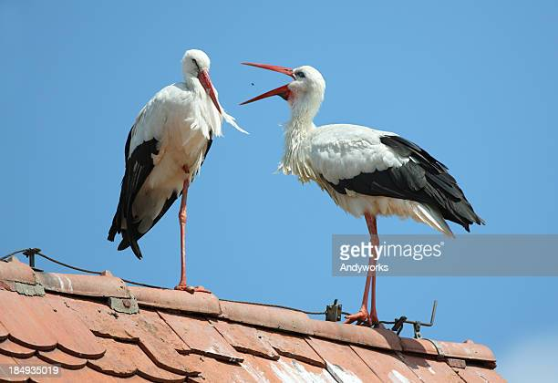 Due bianco Storks (Ciconia cicon.