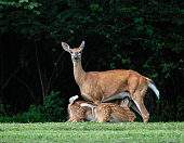 White tailed deer fawns nursing as mother looks at camera.
