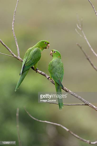 Two white-eyed parakeets