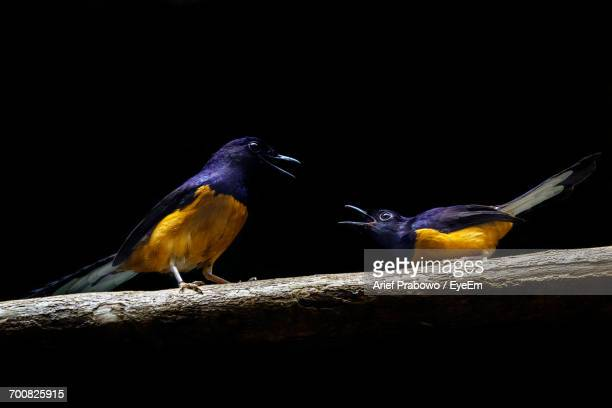 Two White-Rumped Shamas Perching On Branch