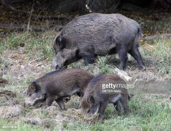 Two wild boar cubs and their mother are pictured on October 11 2008 in the Lainzer Tiergarten a 25 square kms growth forest west of Vienna that was...