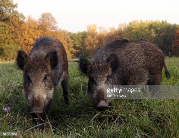 Two wild boar cubs are pictured on October 11 2008 in the Lainzer Tiergarten a 25 square kms growth forest west of Vienna that was constituted more...