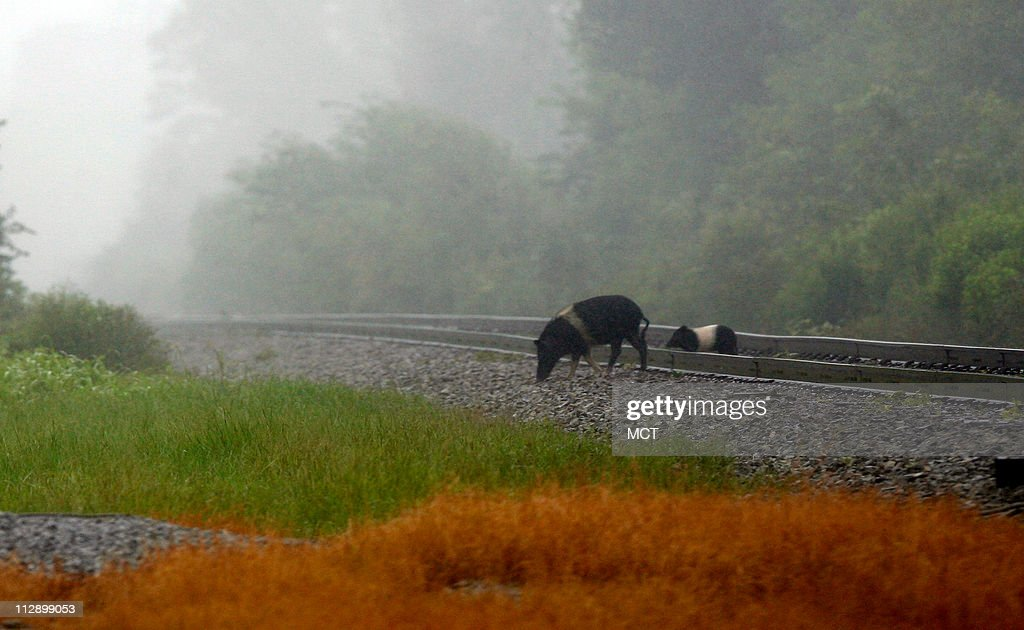 Two wild pigs cross the train tracks in Waveland Mississippi seeking higher ground as Hurricane Gustav moves inland Monday September 1 2008