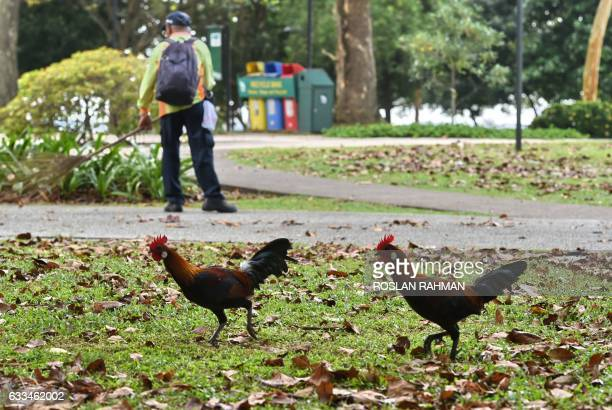 Two wild roosters roam around a park in Singapore on February 2 2017 The Year of the Rooster on the Lunar New Year calendar was ushered in on January...