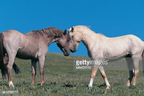 Two Wild Stallions Rubbing Heads in Wyoming, USA : Stock Photo