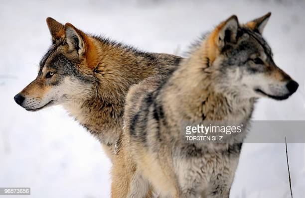 Two wolves play in the snow in their enclosure in the zoo in Worms western Germany on January 27 where temperatures are at minus ten degrees celsius...