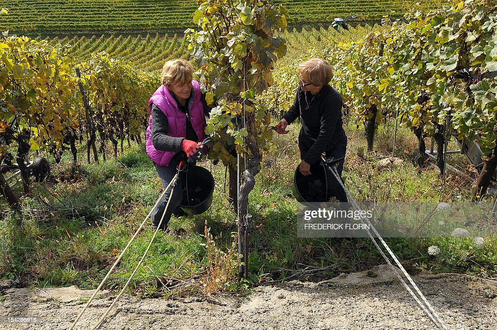 Two women take part in the grape harvest of the Grand Cru Rangen, on October 17, 2012 in Thann, eastern France. The rows of the vineyard overhangs the city with a gradient of 45 to 100.